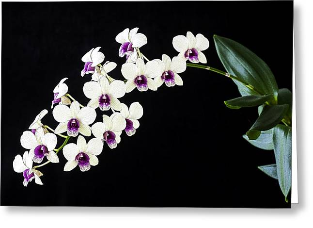 Decoration Day Greeting Cards - Perfect Phalaenopsis Orchid Poster Greeting Card by Rich Franco