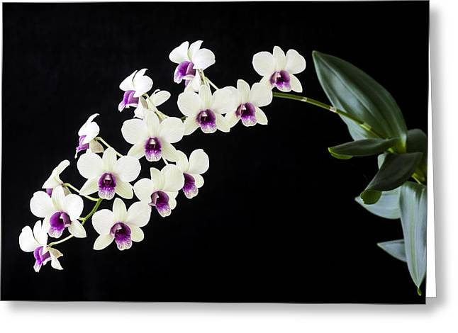 Decoration Day Greeting Cards - Perfect Phalaenopsis Orchid Greeting Card by Rich Franco