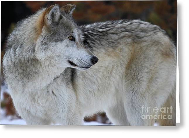 Alpha Wolf Greeting Cards - Perfect Pose Greeting Card by Adam Jewell