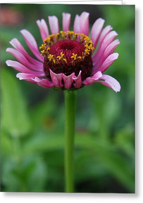 Wildflower Photography Greeting Cards - Perfect Posture  Greeting Card by Neal  Eslinger