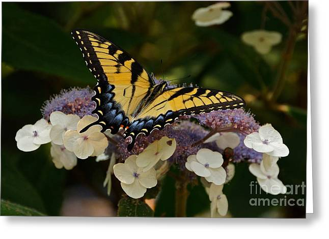 Lacecap Greeting Cards - Perfect Tiger Swallowtail Butterfly Greeting Card by Byron Varvarigos