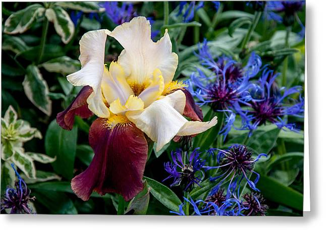 Irresistible Greeting Cards - Perfection Iris Greeting Card by Roxy Hurtubise