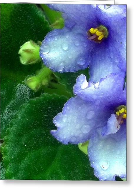 African Violets Greeting Cards - Periwinkle African Violets Greeting Card by Nancy Mueller