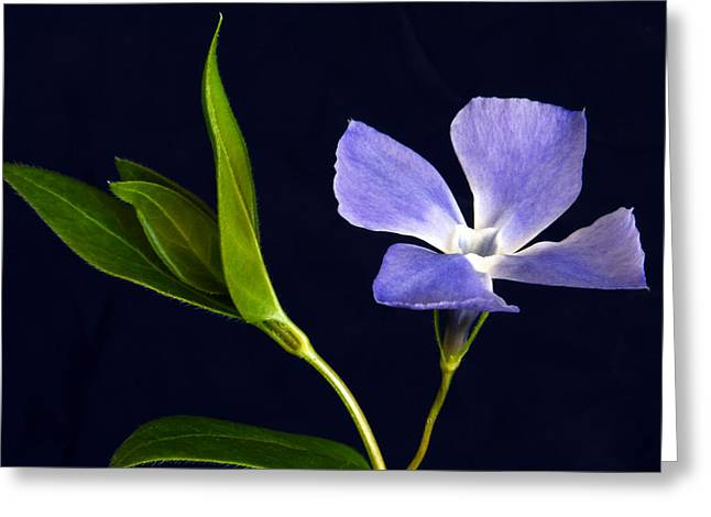Vinca Flowers Greeting Cards - Periwinkle. Greeting Card by Terence Davis