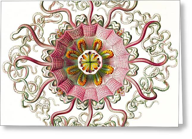 Kunstformen Der Natur Greeting Cards - Peromedusae Greeting Card by Becky Hayes