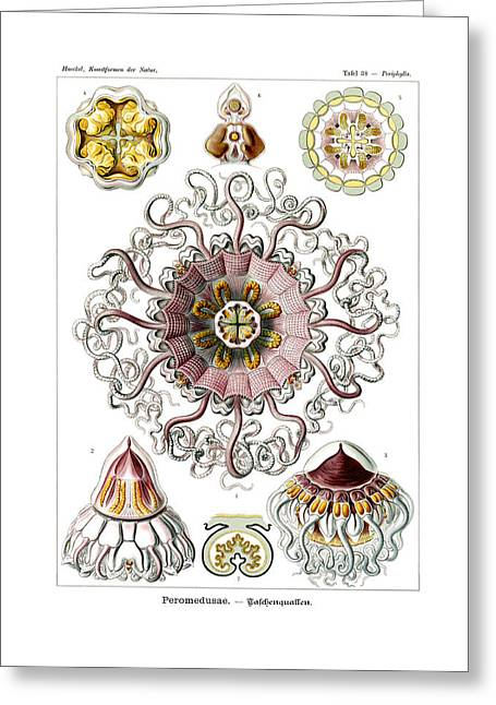 Zoology Greeting Cards - Peromedusae Greeting Card by Ernst Haeckel