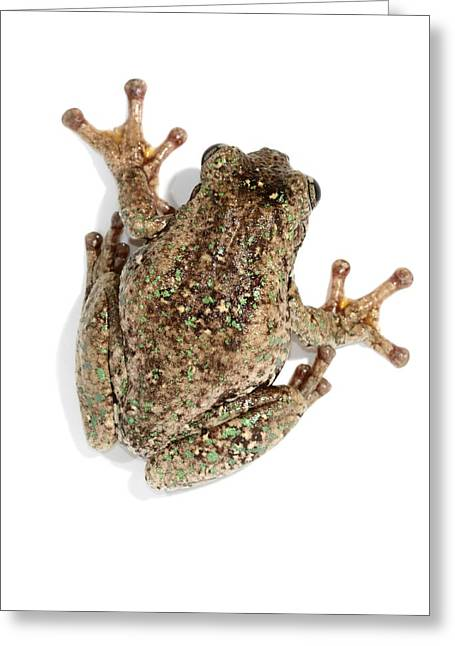 Cackle Greeting Cards - Perons tree frog Greeting Card by Science Photo Library