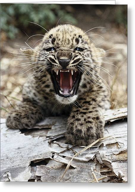 Growling Greeting Cards - Persian Leopard Cub Snarling Greeting Card by San Diego Zoo