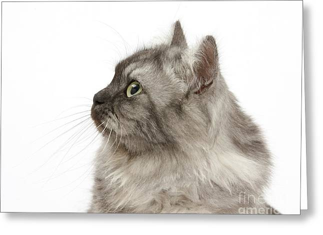 House Pet Greeting Cards - Persian X Birman Female Cat Greeting Card by Mark Taylor