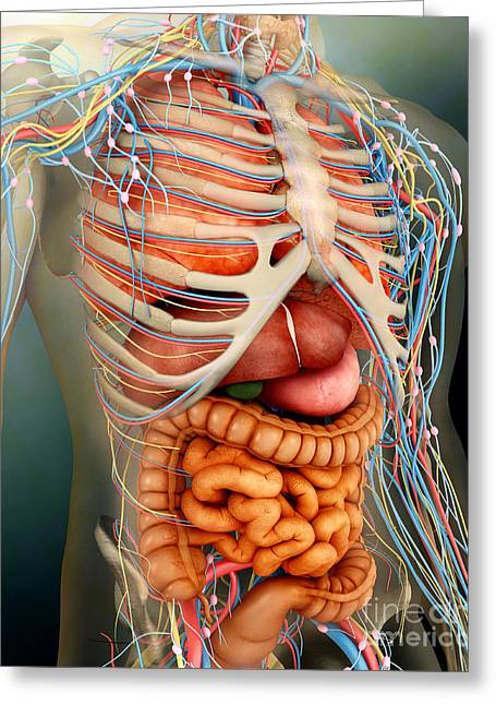 Falciform Ligament Greeting Cards - Perspective View Of Human Body, Whole Greeting Card by Stocktrek Images