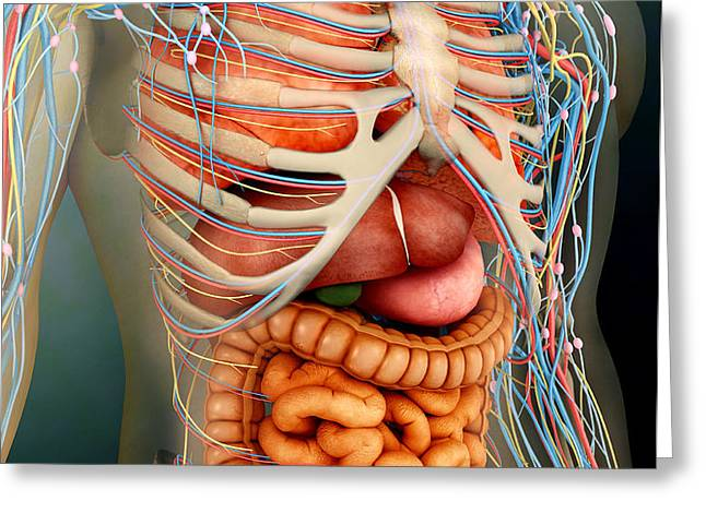 Perspective View Of Human Body, Whole Greeting Card by Stocktrek Images