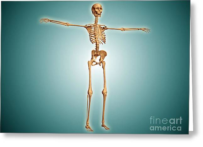 Costae Fluitantes Greeting Cards - Perspective View Of Human Skeletal Greeting Card by Stocktrek Images