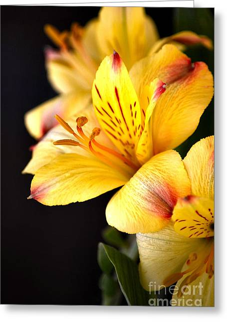 Stigma Greeting Cards - Peruvian Lily Greeting Card by Deb Halloran