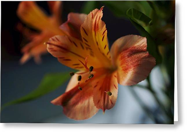 Lily Of The Incas Greeting Cards - Peruvian Lily Greeting Card by Photographic Arts And Design Studio