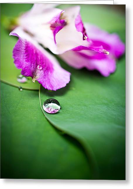 Lily Of The Incas Greeting Cards - Peruvian Lily Raindrop Greeting Card by Priya Ghose