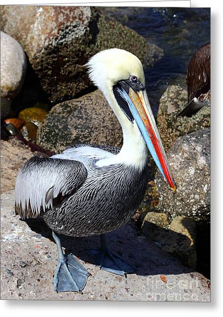 Seabirds Greeting Cards - Peruvian Pelican Greeting Card by James Brunker