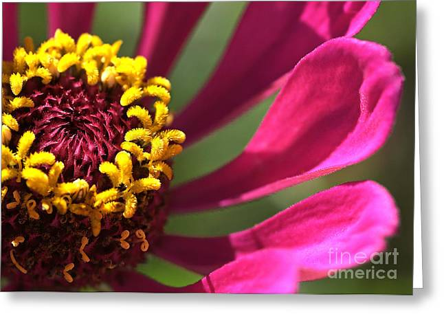 Zinnia Elegans Greeting Cards - Petal Offering Greeting Card by Chris Fleming