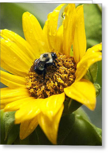 Yellow Sunflower Greeting Cards - Petals and Drops Greeting Card by Christina Rollo