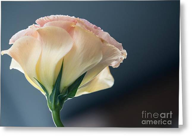 Valerie Morrison Greeting Cards - Petals Glow Greeting Card by Valerie Morrison