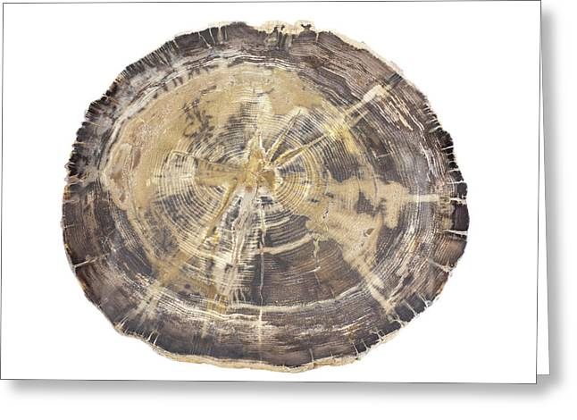 Petrified Hickory Tree Trunk Section Greeting Card by Science Stock Photography