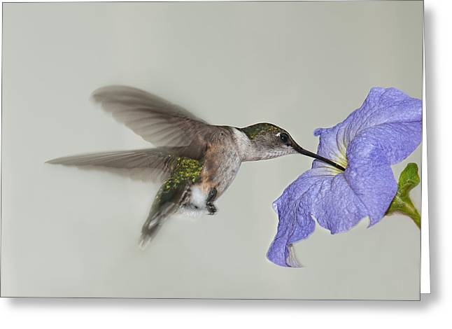 Archilochus Colubris Greeting Cards - Petunia Delight Greeting Card by Lara Ellis