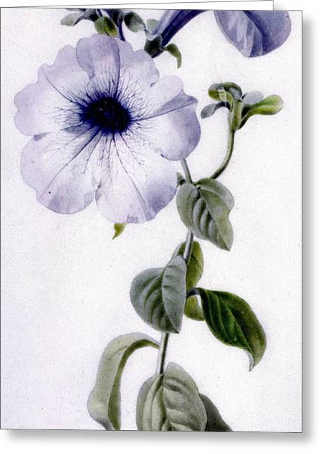 Flora Drawings Greeting Cards - Petunia Greeting Card by Marie-Anne