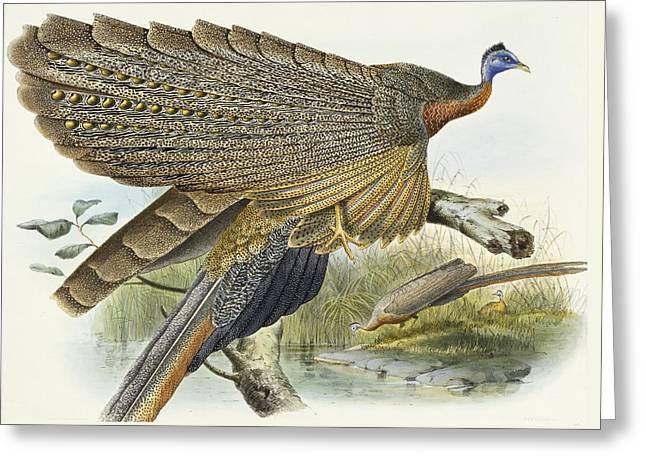 Phadianidae.  Argusianus Grayli Greeting Card by Daniel Girard Elliot