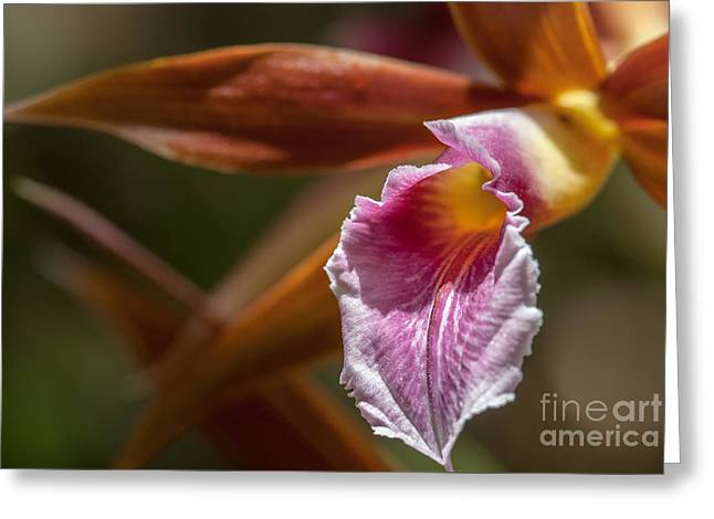 Phaius Tankervilleae Orchid Greeting Card by Al Andersen