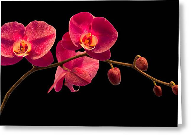 Florida Flower Greeting Cards - Phalaenopsis Greeting Card by Debra and Dave Vanderlaan