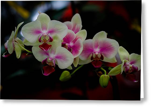 Donald Chen Greeting Cards - Phalaenopsis Pink Orchid Greeting Card by Donald Chen