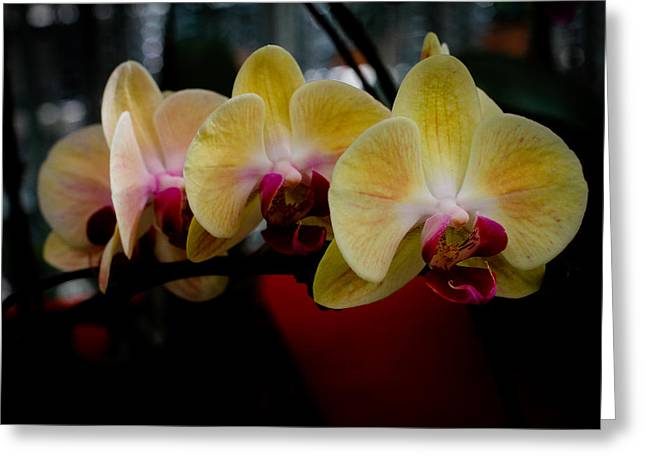 Donald Chen Greeting Cards - Phalaenopsis Yellow Orchid Greeting Card by Donald Chen
