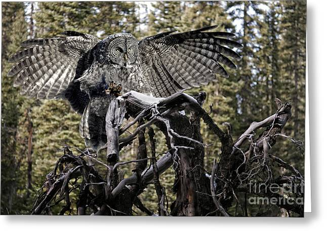 Flying Animal Greeting Cards - Phantom of the North Greeting Card by Wildlife Fine Art