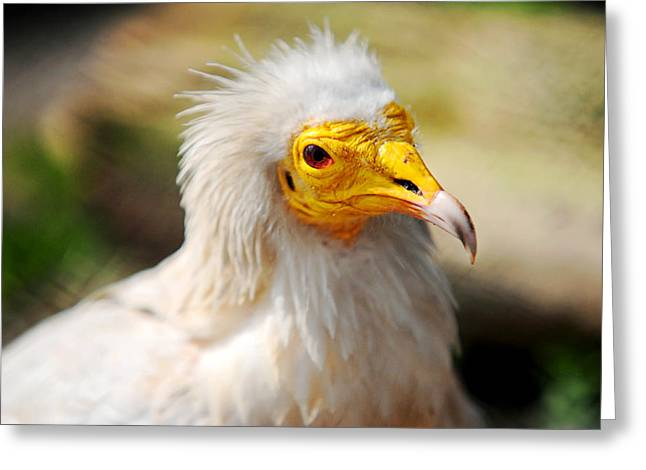 Orange Beak Greeting Cards - Pharaoh Chicken. Egyptian Vulture Greeting Card by Jenny Rainbow