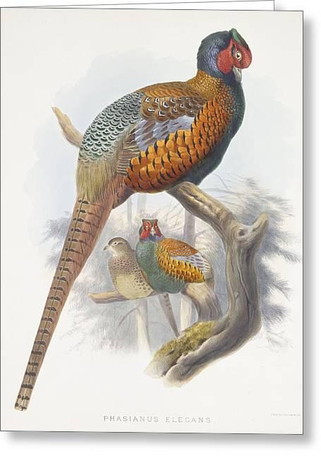 Phasianus Elegans Elegant Pheasant Greeting Card by Daniel Girard Elliot