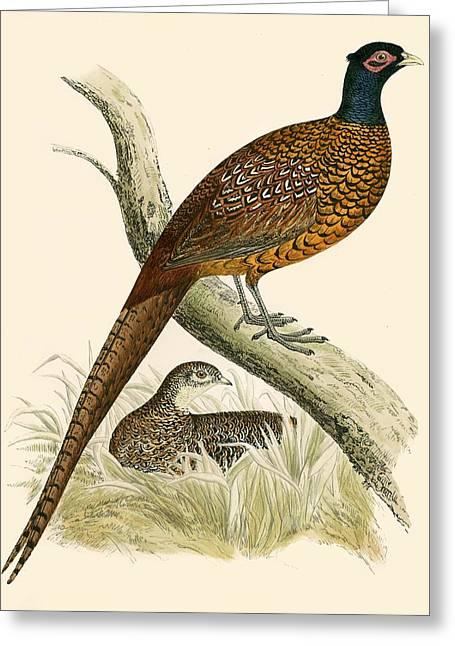 Pheasant Greeting Card by Beverley R Morris