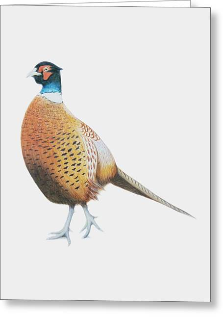 Pheasant Paintings Greeting Cards - Pheasant Greeting Card by Ele Grafton