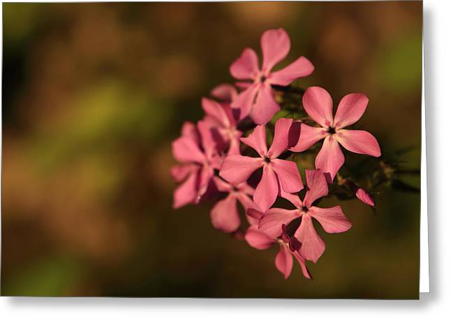 Phlox Greeting Cards - Phlox in the Sunlight - MP0026 Greeting Card by Matthew Parks