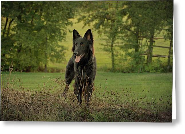 Indiana German Shepherds Greeting Cards - Phoenix - Early Evening Greeting Card by Sandy Keeton