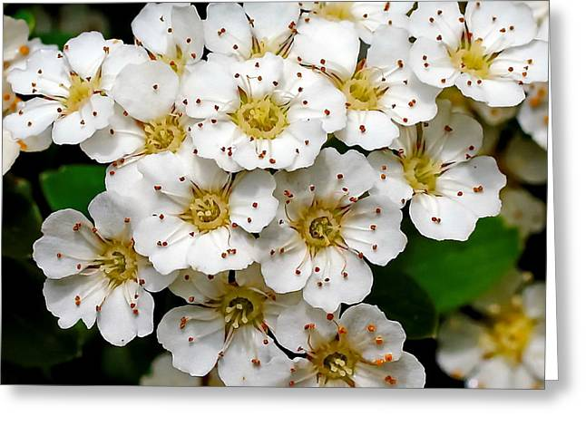 My Ocean Greeting Cards - Photinia Blooms Greeting Card by   FLJohnson Photography