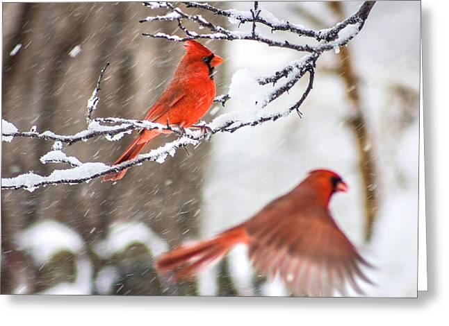Cardinal Photo Greeting Cards - Photo Bomber Cardinal Greeting Card by Jackie Novak