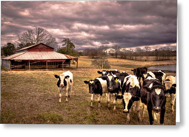 Yearling Greeting Cards - Red Barn and Photo Groupies Greeting Card by Reid Callaway
