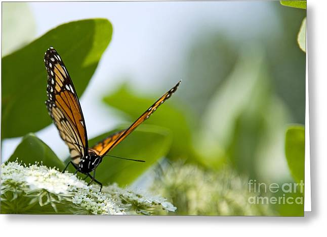 Monarch Butterfly Greeting Cards - Photo of Monarch Butterfly on a Flower Greeting Card by Paul Velgos