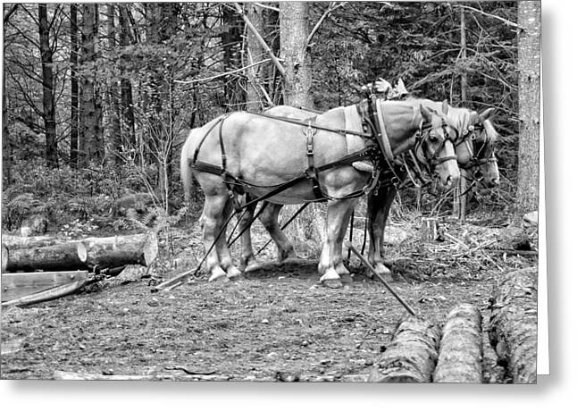 Maine Agriculture Digital Art Greeting Cards - Photograph of Horses Pulling Logs In Maine Forest Greeting Card by Keith Webber Jr