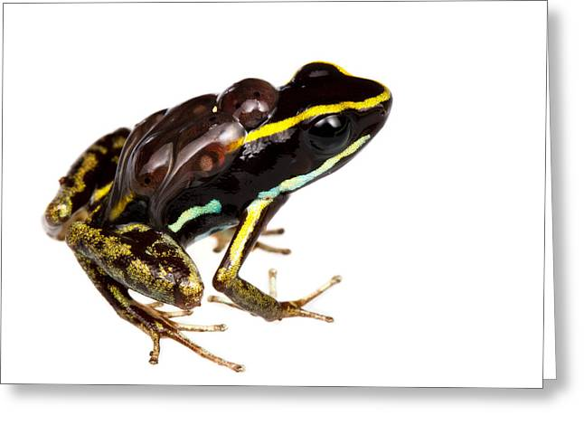 Frogs Photographs Greeting Cards - Phyllobates lugubris with tadpoles Greeting Card by JP Lawrence