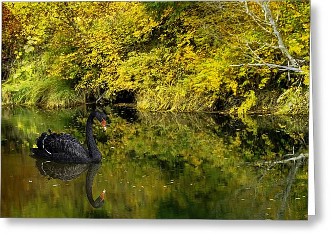 Swans... Greeting Cards - Pianissimo a Quiet Autumn Scene Greeting Card by Diane Schuster