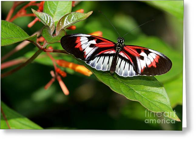 Florida Flowers Greeting Cards - Piano Key Butterfly on Fire Bush Greeting Card by Sabrina L Ryan