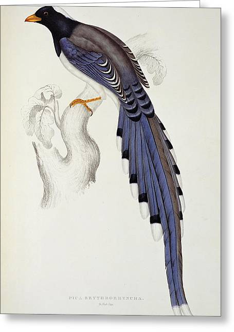 Long Tail Greeting Cards - Pica Erythrorhyncha, From A Century Of Birds From The Himalaya Mountains, 1830-32, By John Gould Greeting Card by Elizabeth Gould