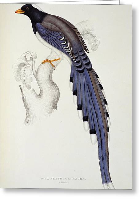 Pica Erythrorhyncha, From A Century Of Birds From The Himalaya Mountains Greeting Card by Elizabeth Gould