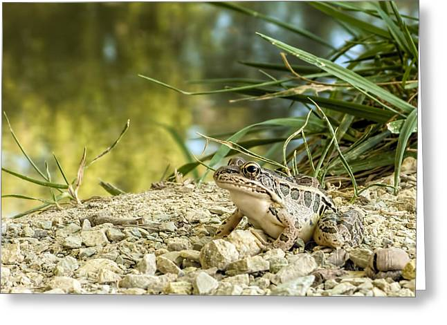 Pickerel Greeting Cards - Pickerel Frog Greeting Card by Francis Sullivan