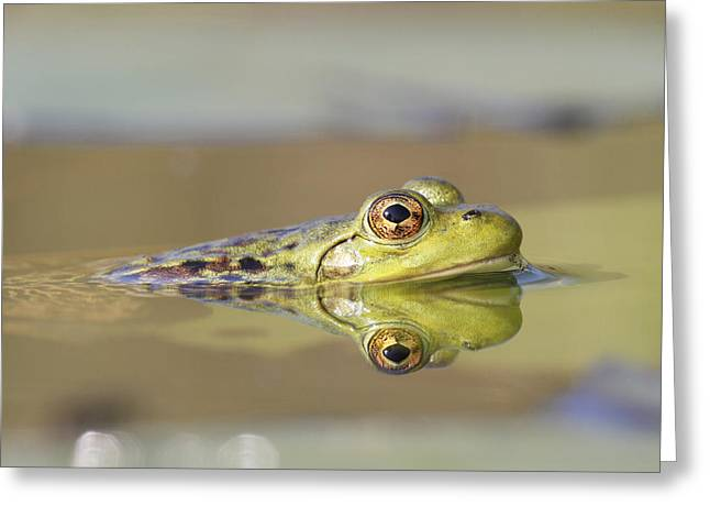 True Color Photograph Greeting Cards - Pickerel Frog Nova Scotia Canada Greeting Card by Scott Leslie